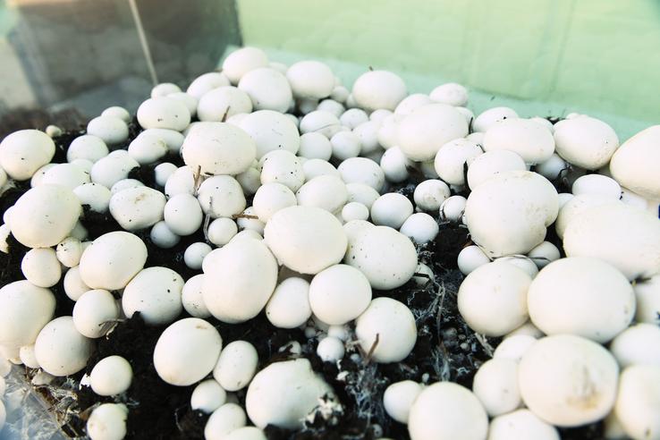 Ленинградские грибы дают рост