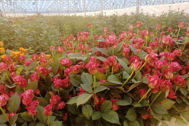Миллион роз из Ленинградской области