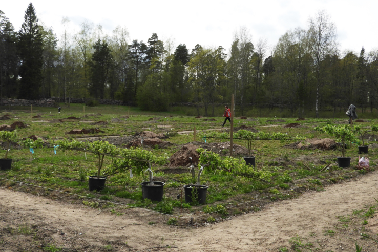 В Монрепо разбили яблоне-грушевый сад