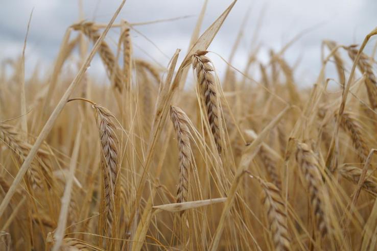 Область собрала рекордный урожай зерна