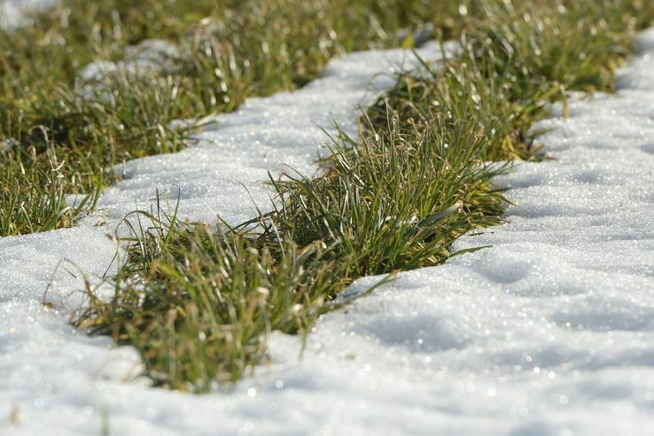 Весна пробудила озимые в Ленинградской области